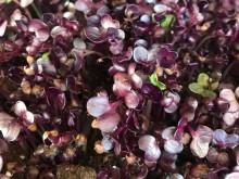 Mikrozöldség - lila retek (50g)