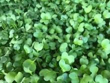 Mikrozöldség - retek (50g)