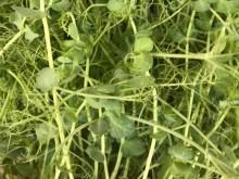 Mikrozöldség - zöldborsó (50g)